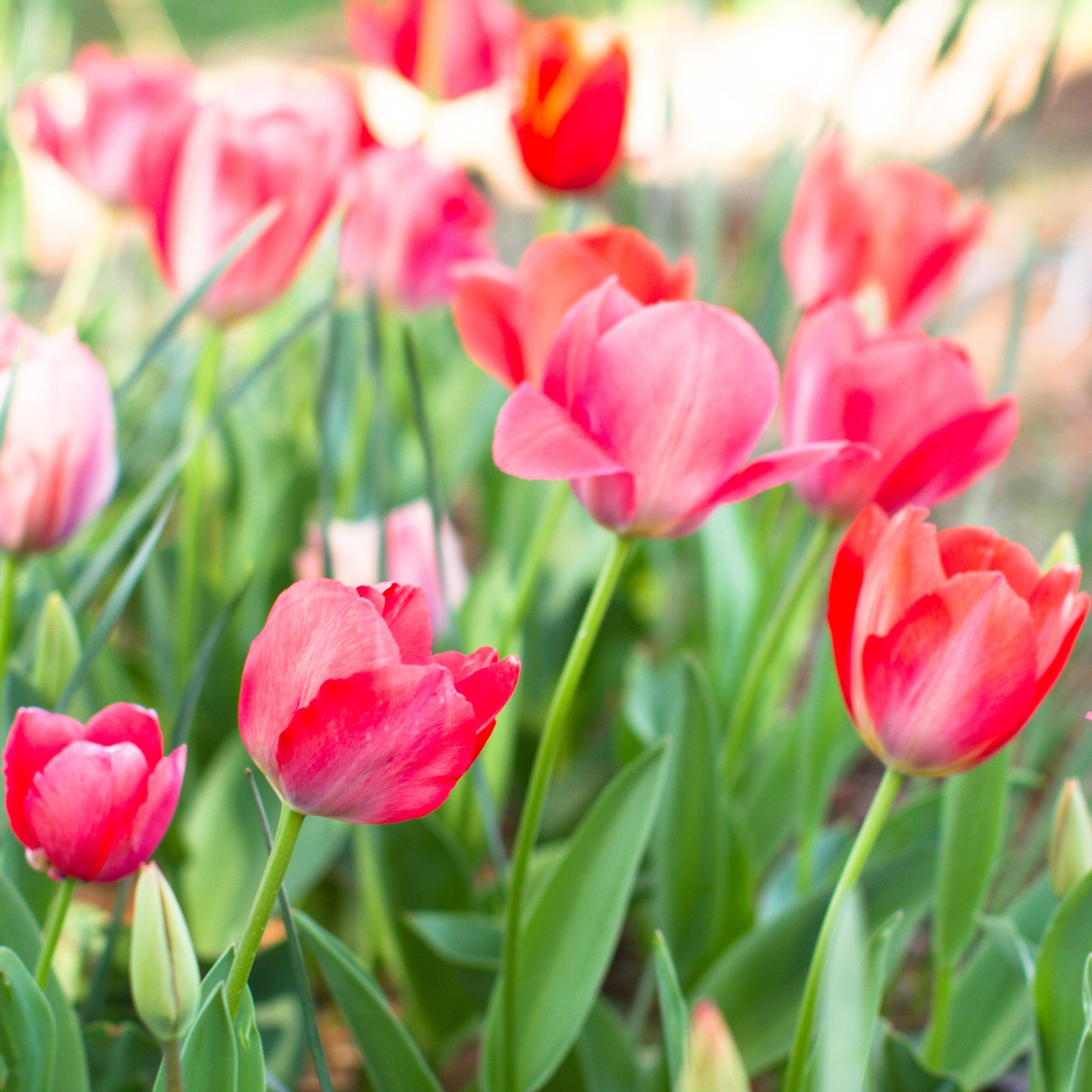 Tulips - April 2017 037.jpg