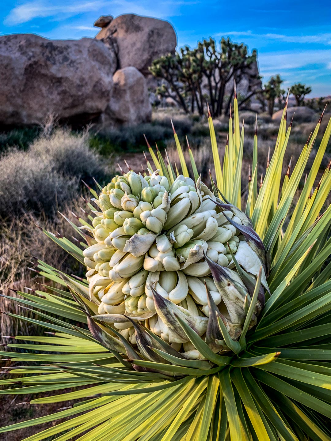 joshua tree bloom - 2019 (near cap rock)