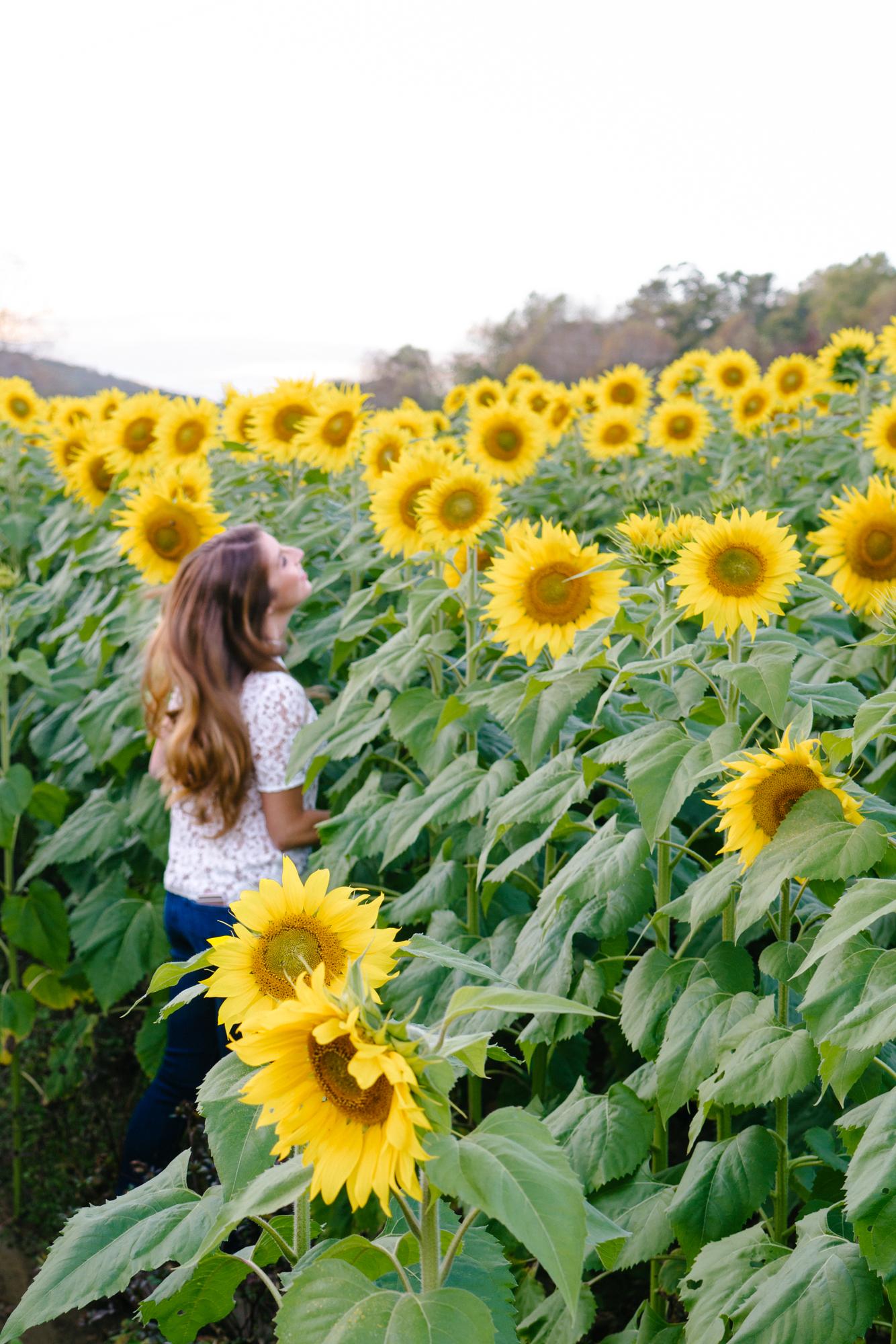 Sunflower fields near Atlanta