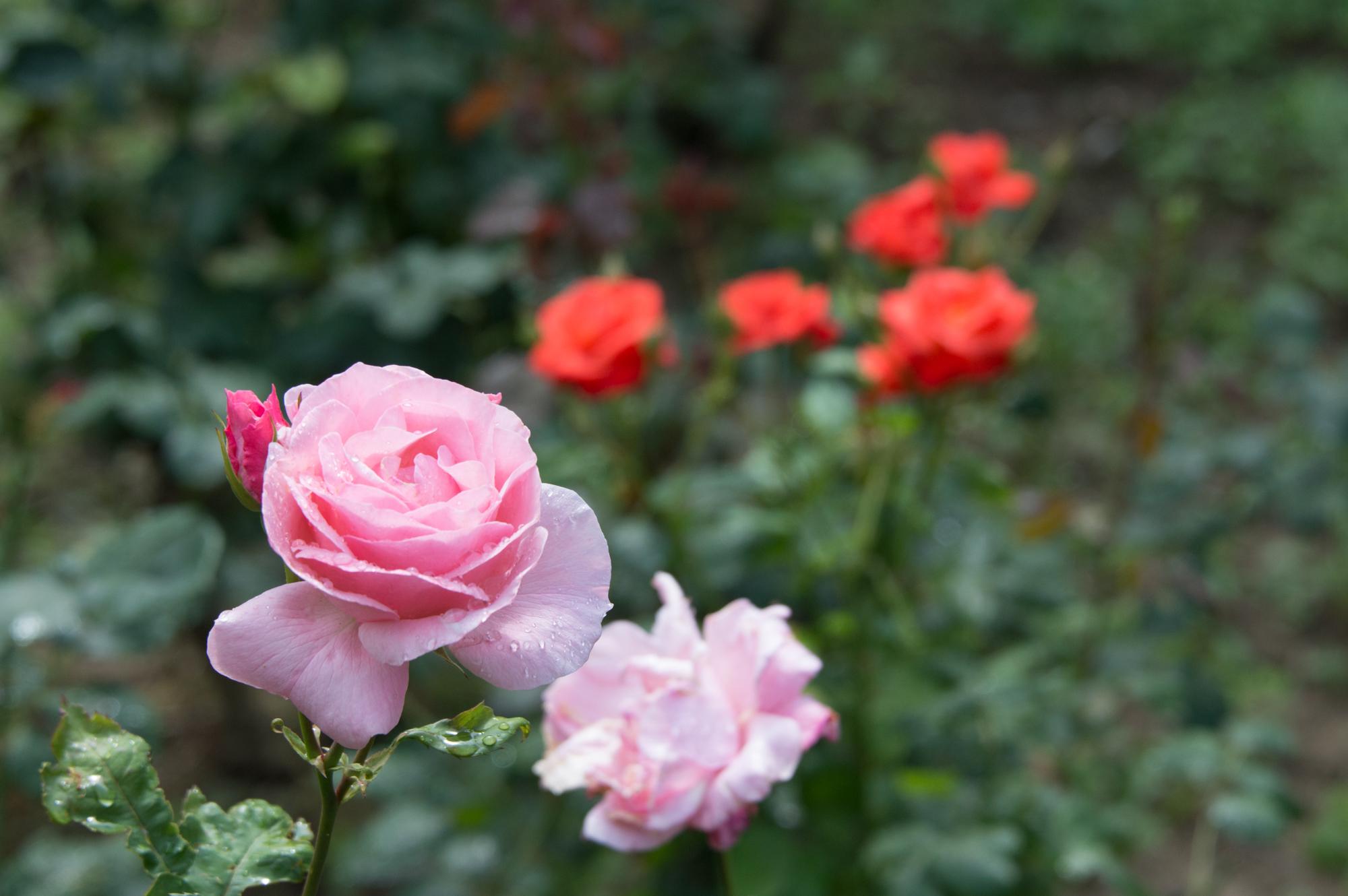 Beautiful rose garden in Tuscany