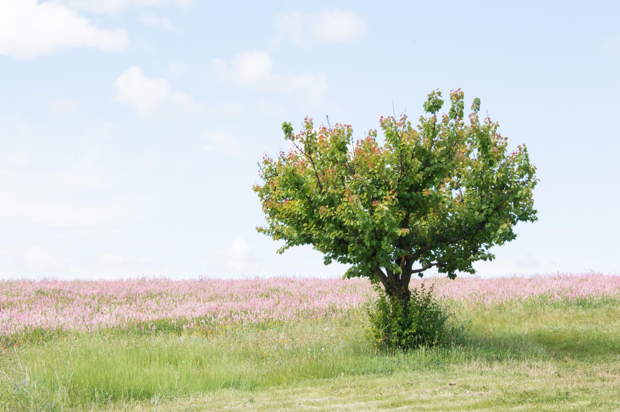 Pink lavender in Provence France