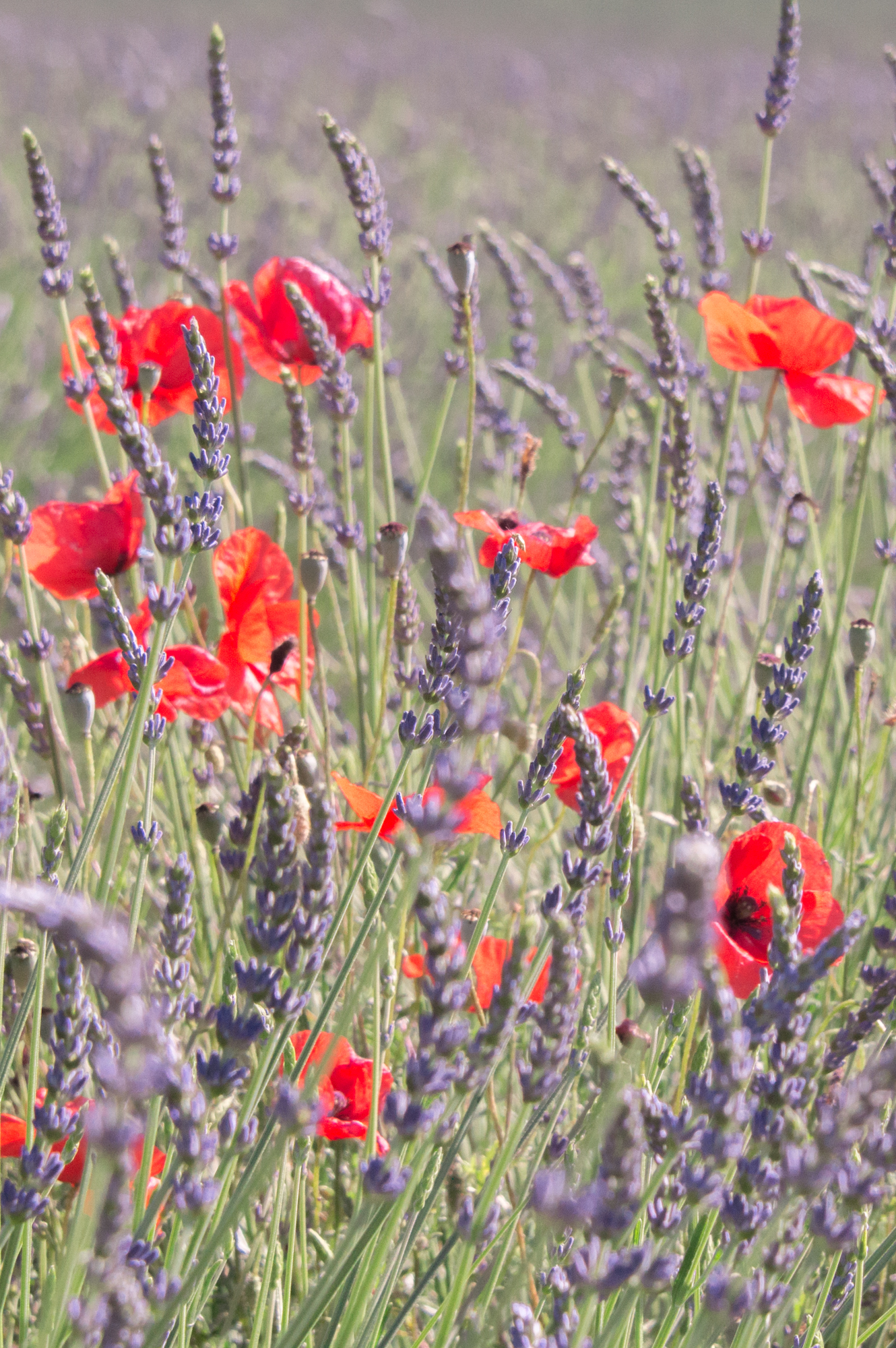 Lavender and Poppies in Provence