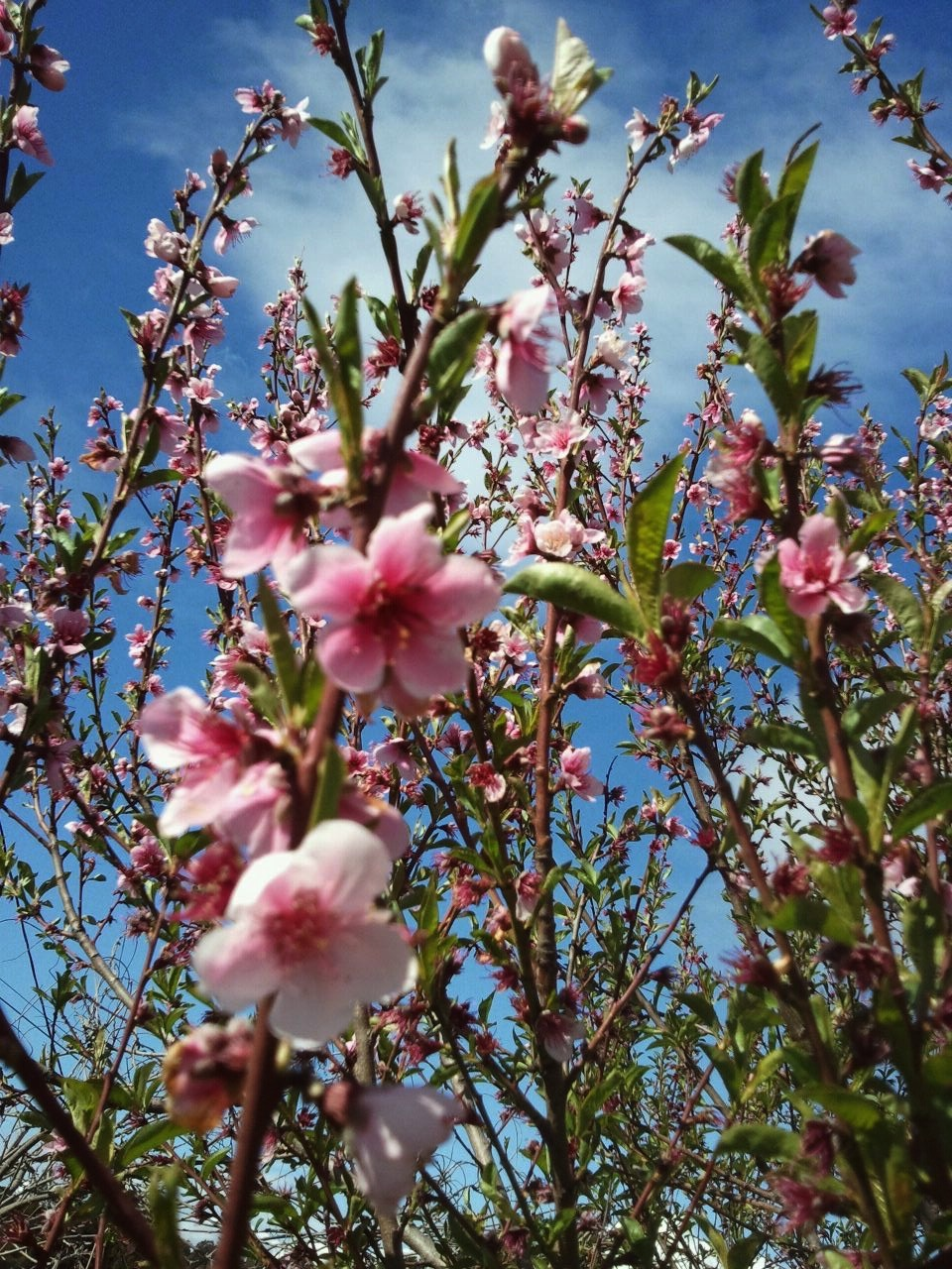 peach tree cropped.jpg