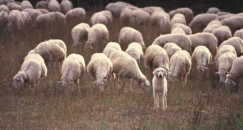Sheepdog Italy.jpg