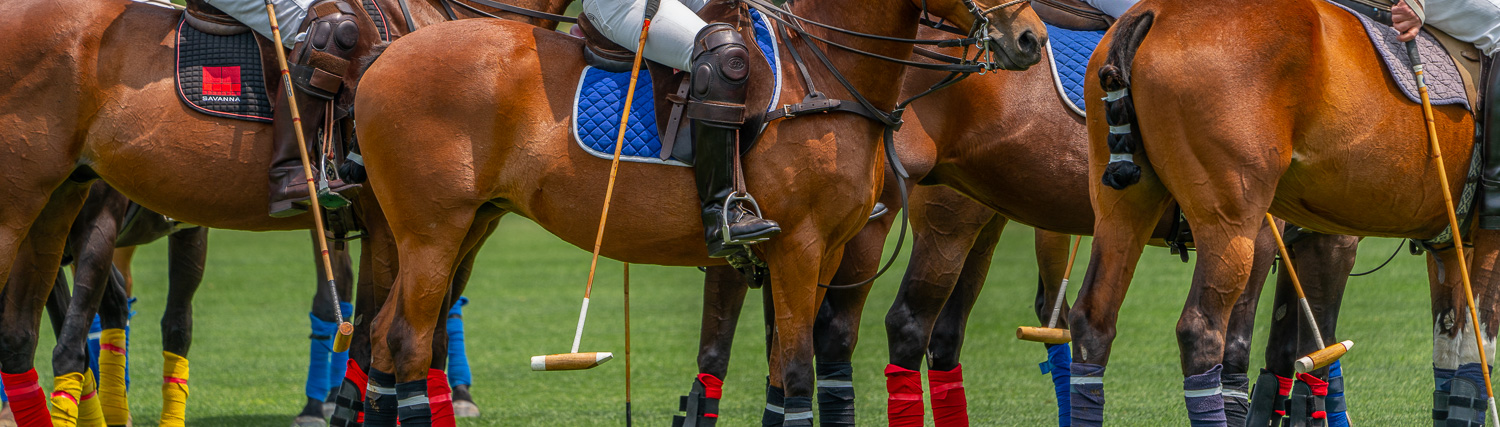 horse musculature of the polo ponies at the Mashomack Polo Club.jpg