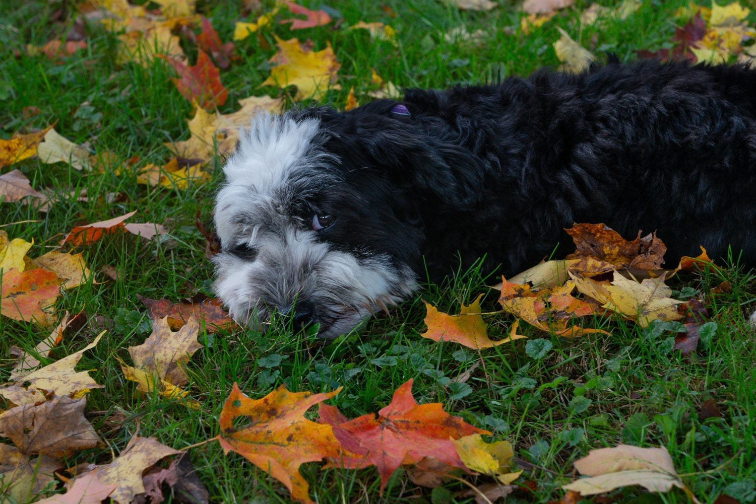 Fred the Hamanese, my model my muse and my seducer resting in the grass among autumn leaves. photo johnstuart studio-compress.jpg