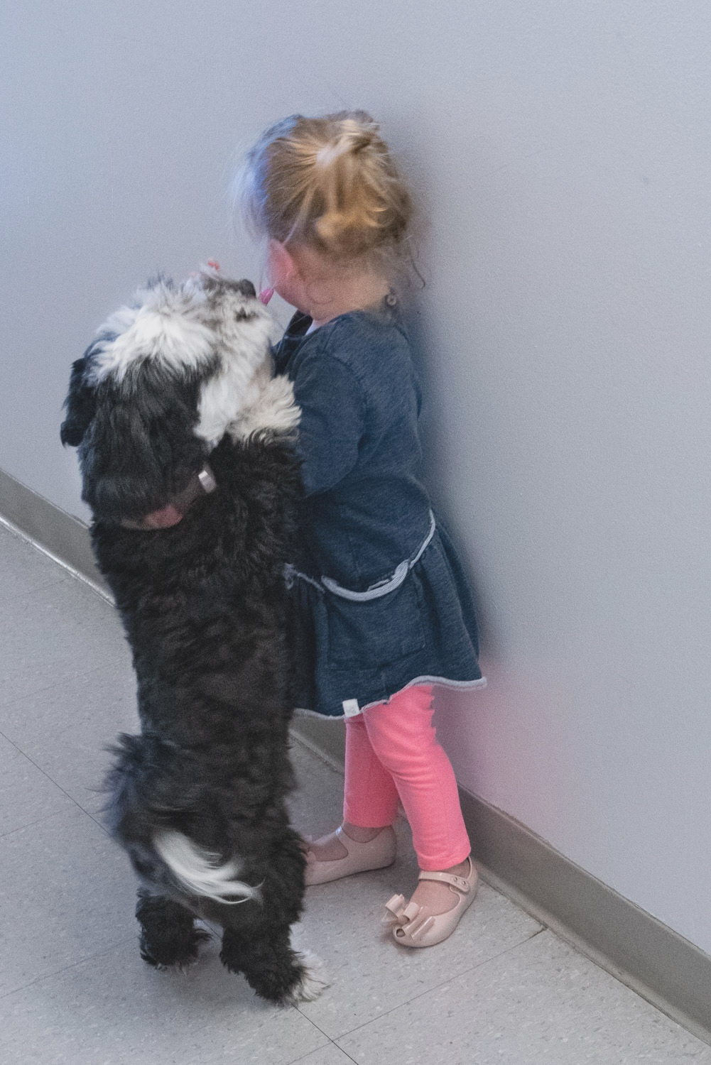 Fred the havanese giving a kiss to a toddler johnstuartstudio.jpg