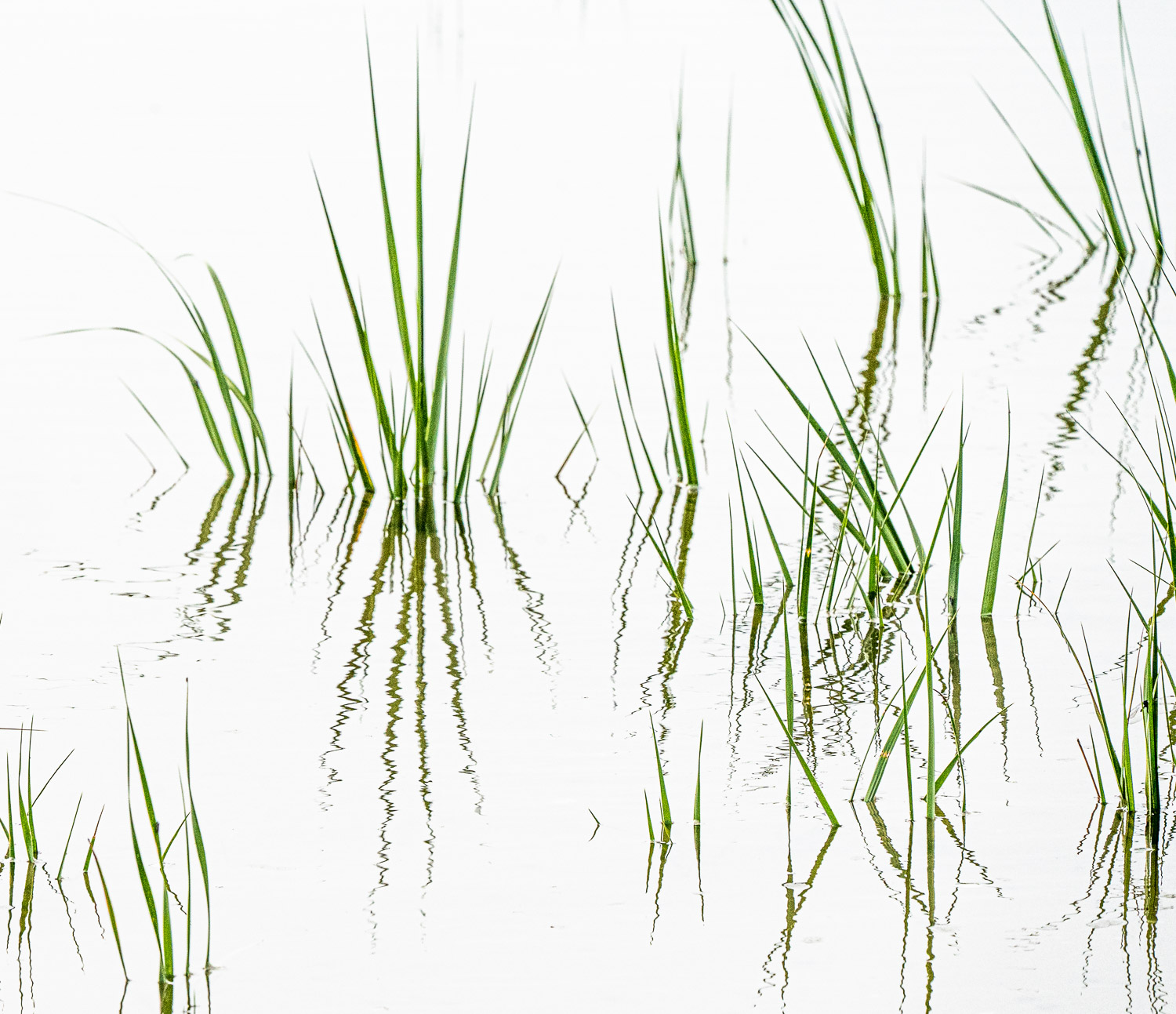 Wetlands grasses mirrored in white water ripples 3053..jpg