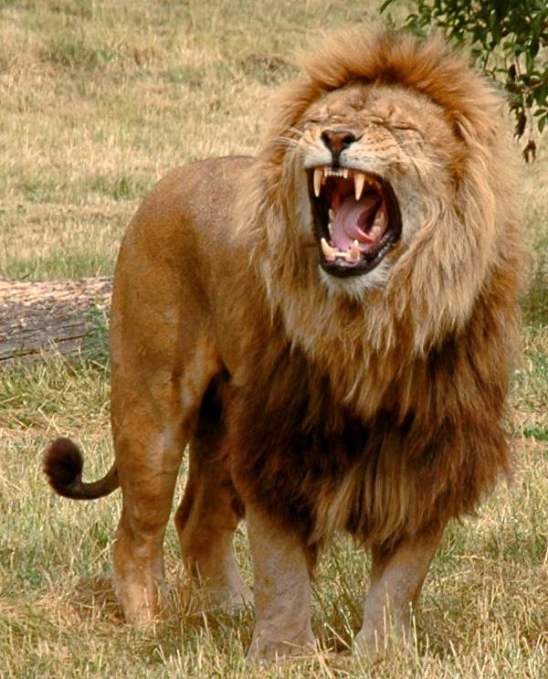Just_one_lion.jpg