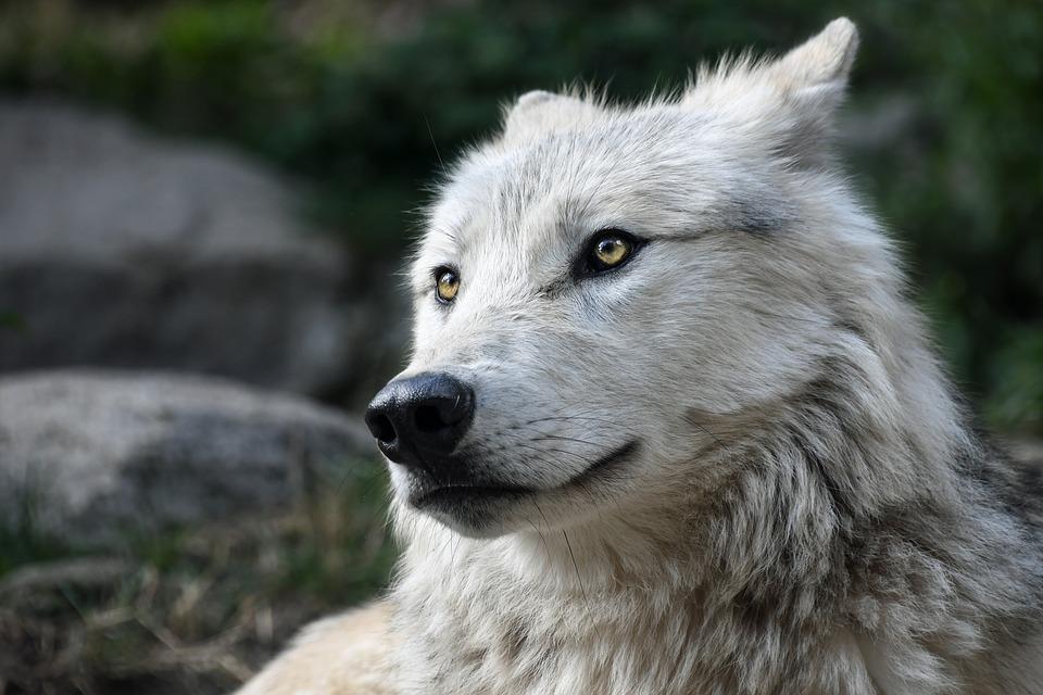 wolf-2826741_960_720.jpg
