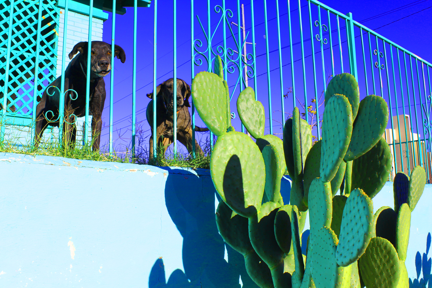 Noisy dogs and cactus © Jud Burgess