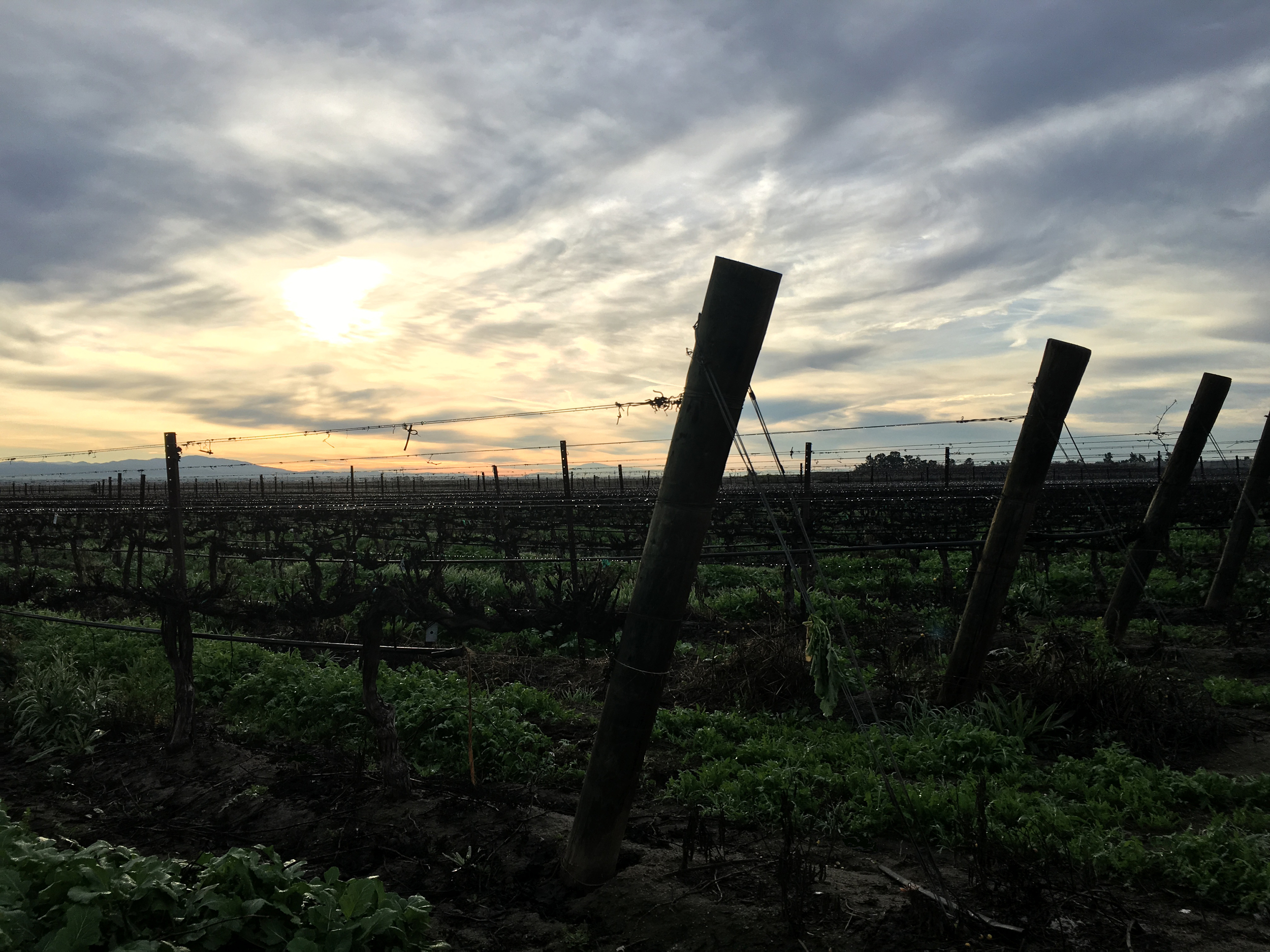 Our Pinot Grigio vineyard in the Winter