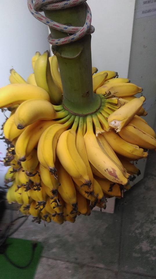 more bananas.jpg
