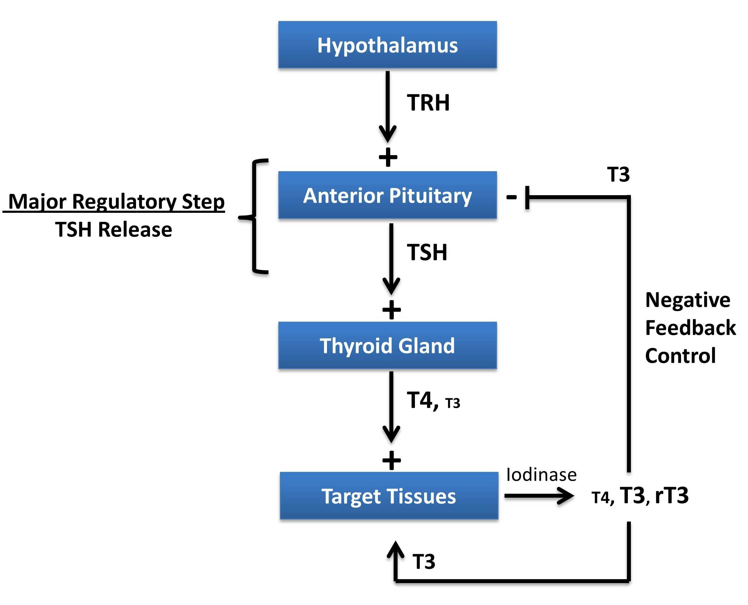 http://www.pathwaymedicine.org/thyroid-hormone-regulation