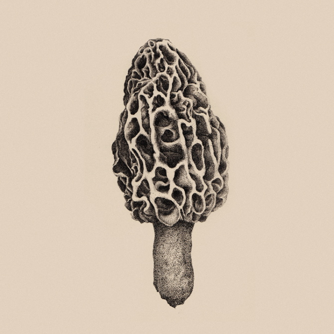 Morel illustration by Ken K Chung at  KKC Studio