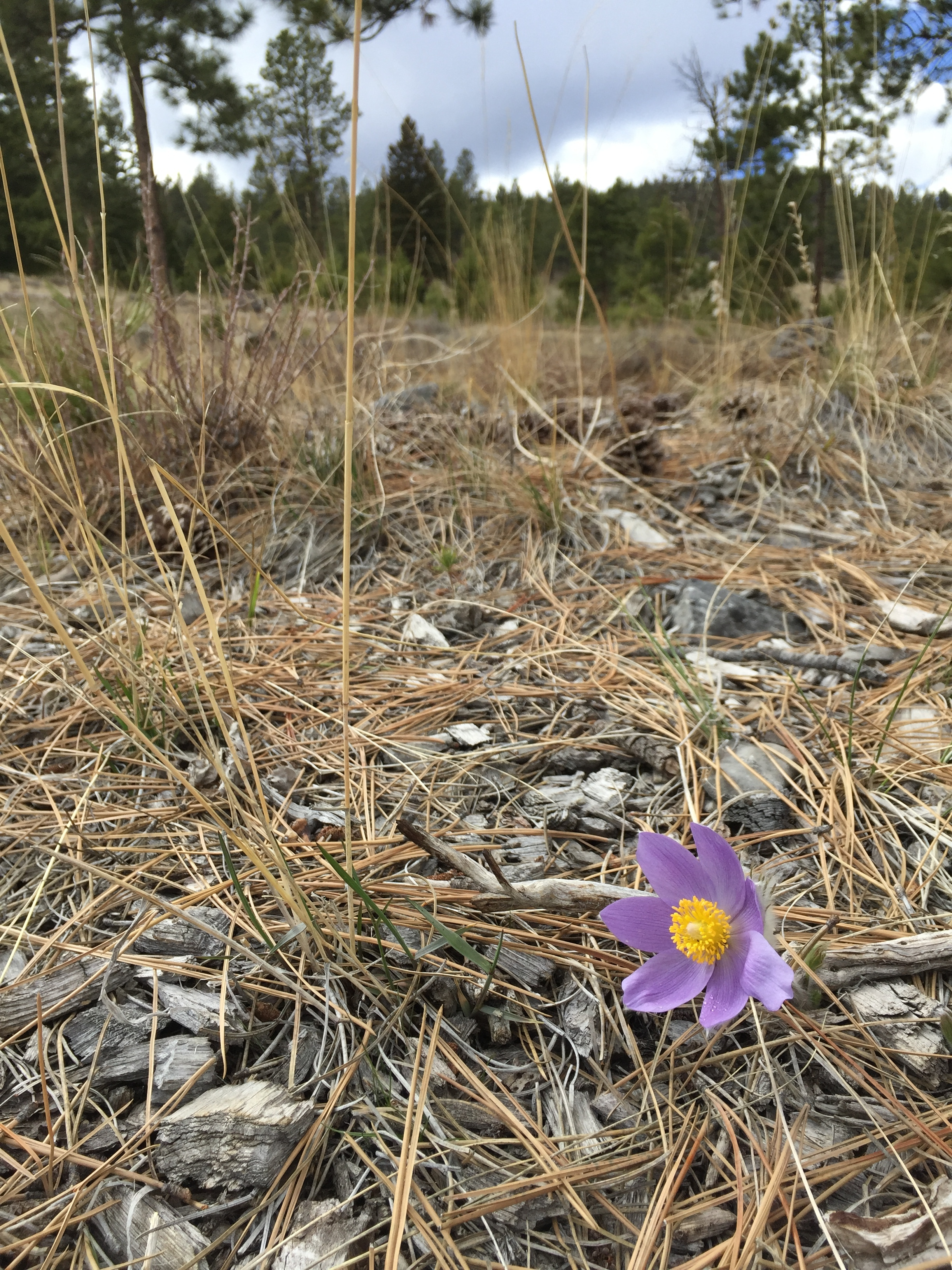 Spring wildflower on Mt. Helena, Helena, Montana