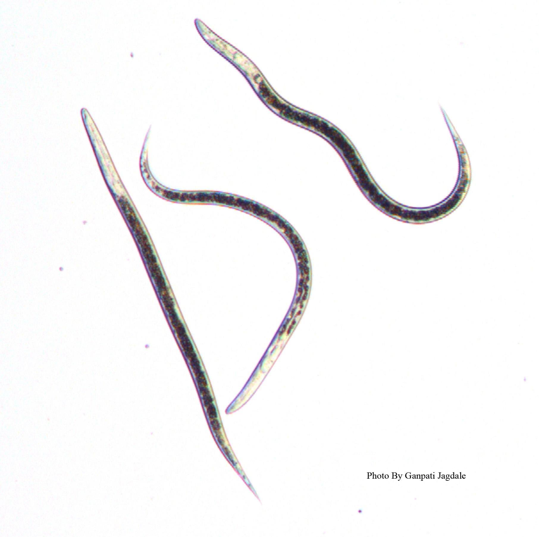 Infective Juveniles of entomopathogenic nematodes