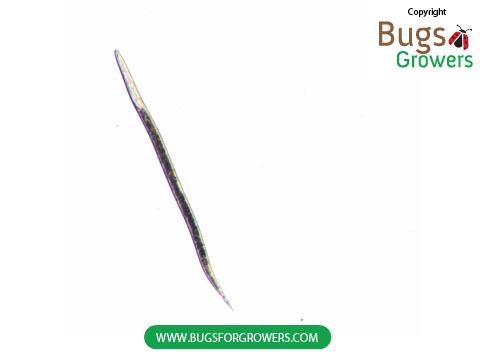An infective juvenile of beneficial entomopathogenoic nematode