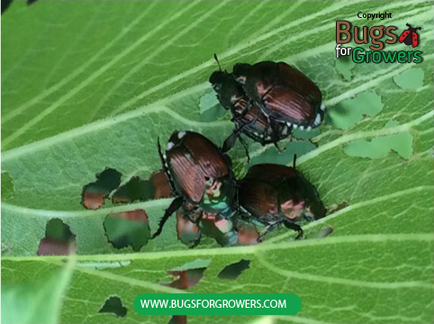Photo 1. Adults of Japanese beetles.