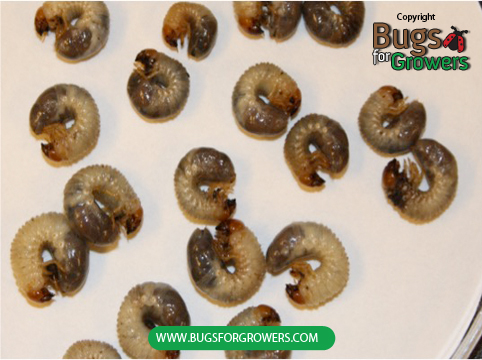 "Photo 2. ""C"" Shaped grubs of Japanese beetles."