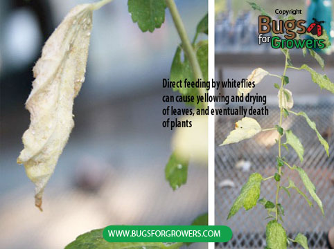 Photo 2. Direct feeding damage by whiteflies can cause yellowing and drying of leaves and plants.