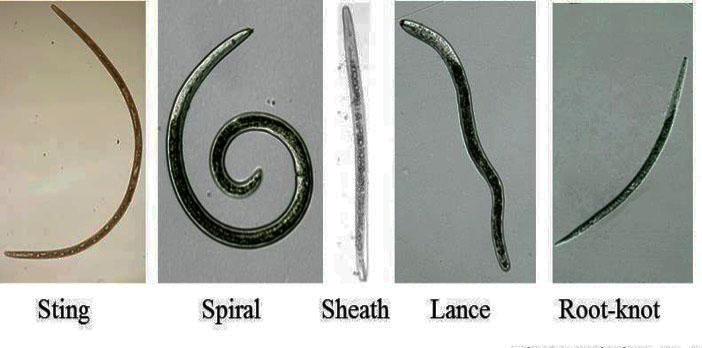 pentru a controla nematode larynx papillomatosis hpv 6