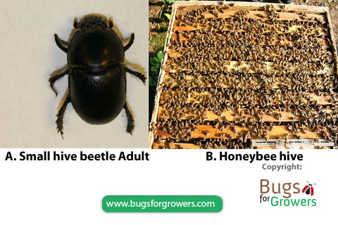 Photo 1. An adult of small hive beetle and honeybee hive.
