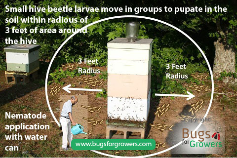 Photo 2. Movement of mature larvae of small hive beetles