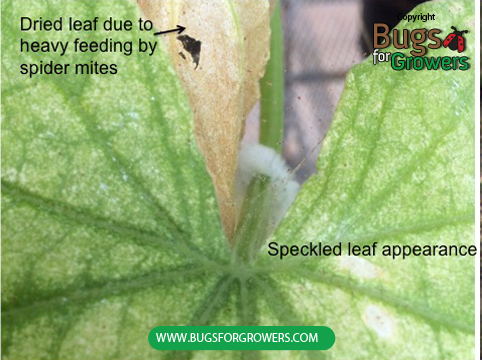 Photo 1. Speckled leaf appearance caused due to feeding by spider mites