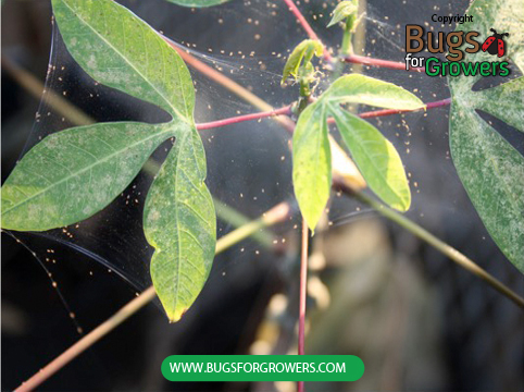 Photo 2. Webbing arround leaves and twigs is caused by spider mite infestation (See small brown dots in the web are different stages of spider mites).
