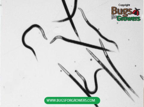 Photo 3.  Steinernema carpocapsae  nematodes