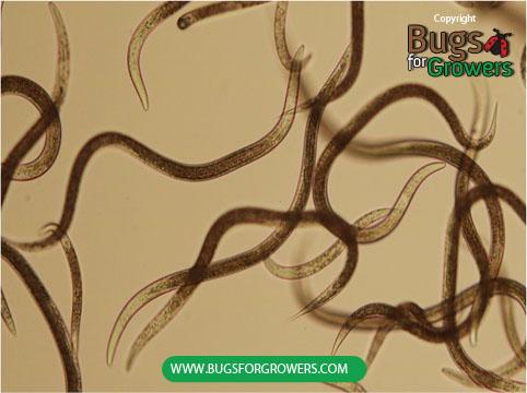 Photo 2. Infective juveniles of  Steinernema carpocapsae  nematodes