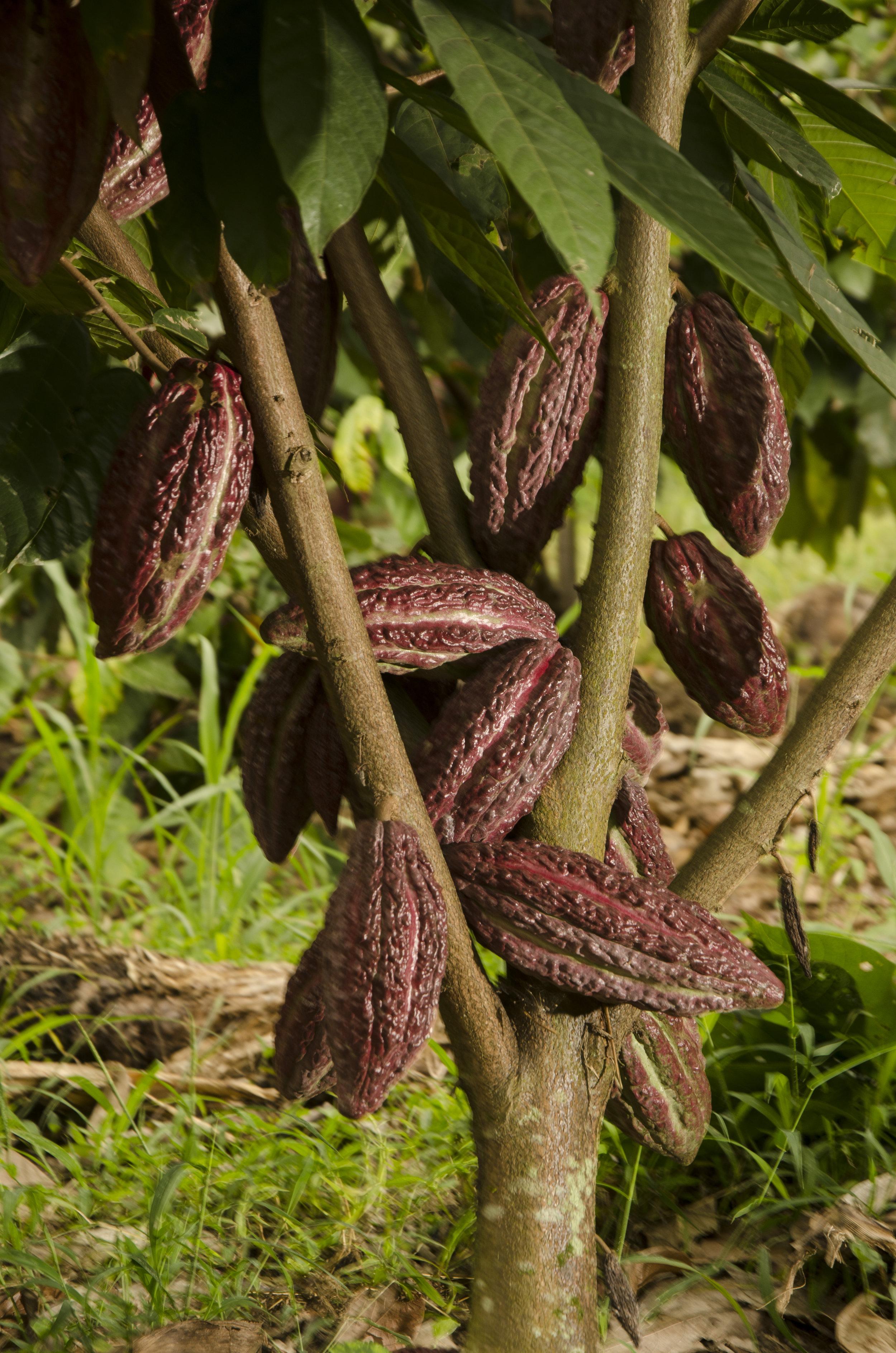 cacao 2 (1).jpg