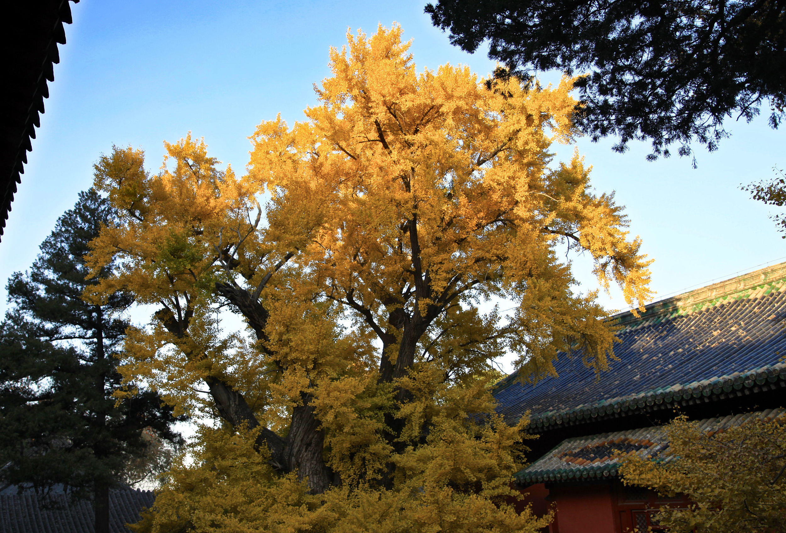 The 1,000 year-old Ginko tree at Dajue Temple,   which Freeman-Mitford must have known and loved.
