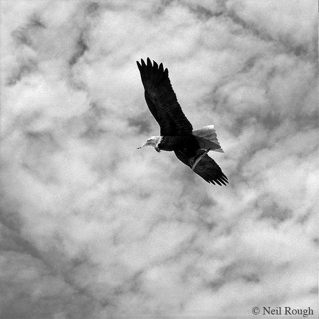 5. Bald Eagle.jpg
