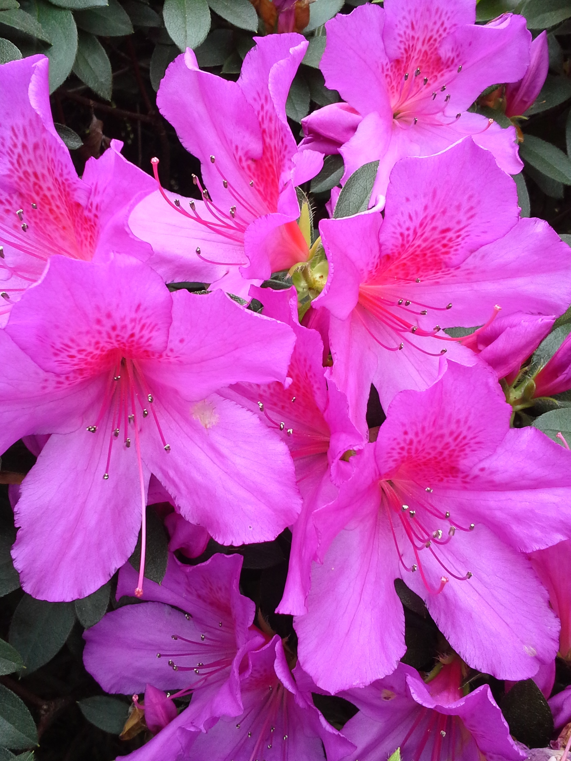 The General Lafayette Formosa Azalea.jpg