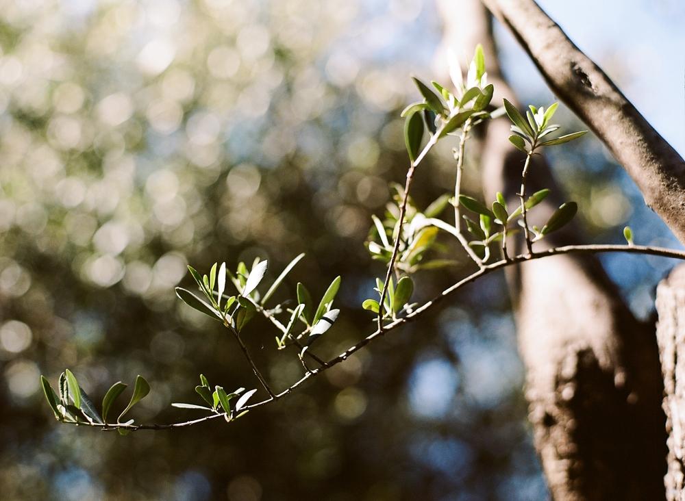 Cinque Terre Olive Tree Buranco