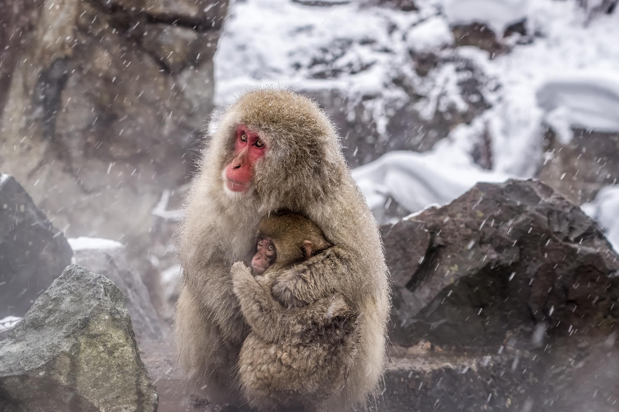 Snow Monkeys in the hills of Jigokunda