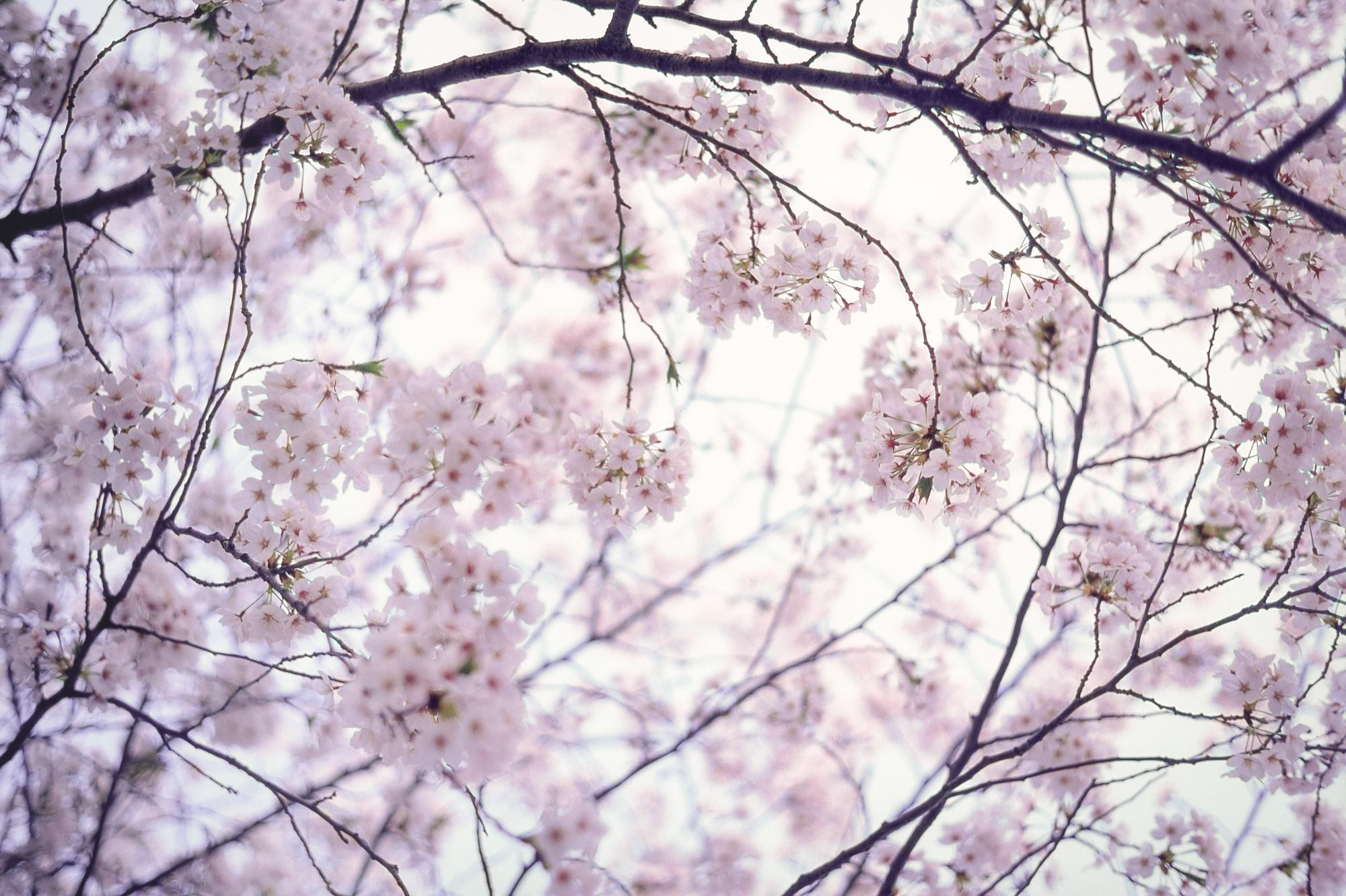 Sakura blossom  - Tokyo, Japan  PHOTOGRAPHY: ALEXANDER J.E. BRADLEY •Minolta SRT 101 • Kodak film