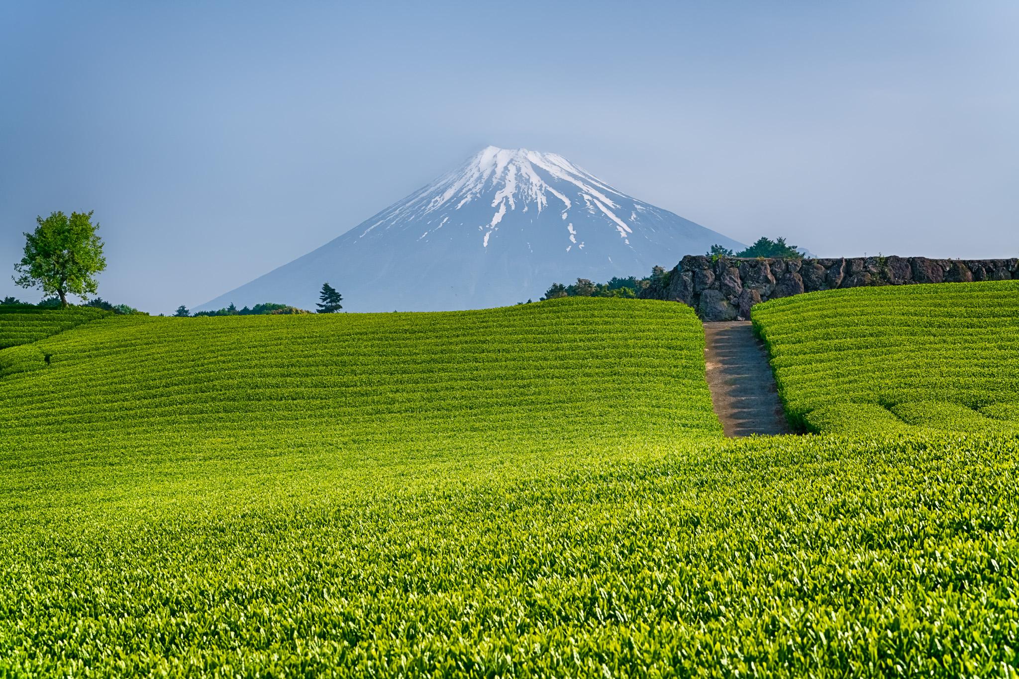green tea plantation.jpg