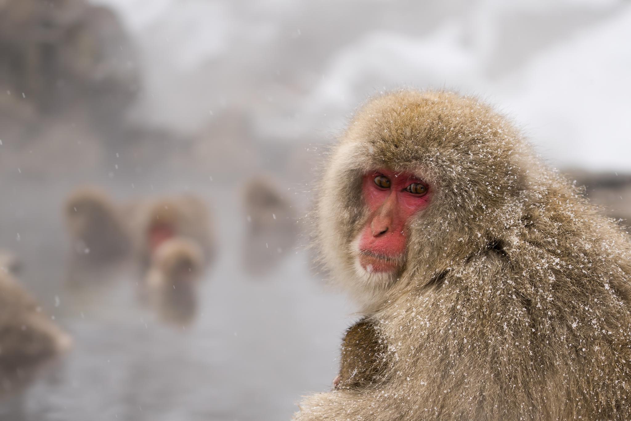 Snow Monkeys.jpg