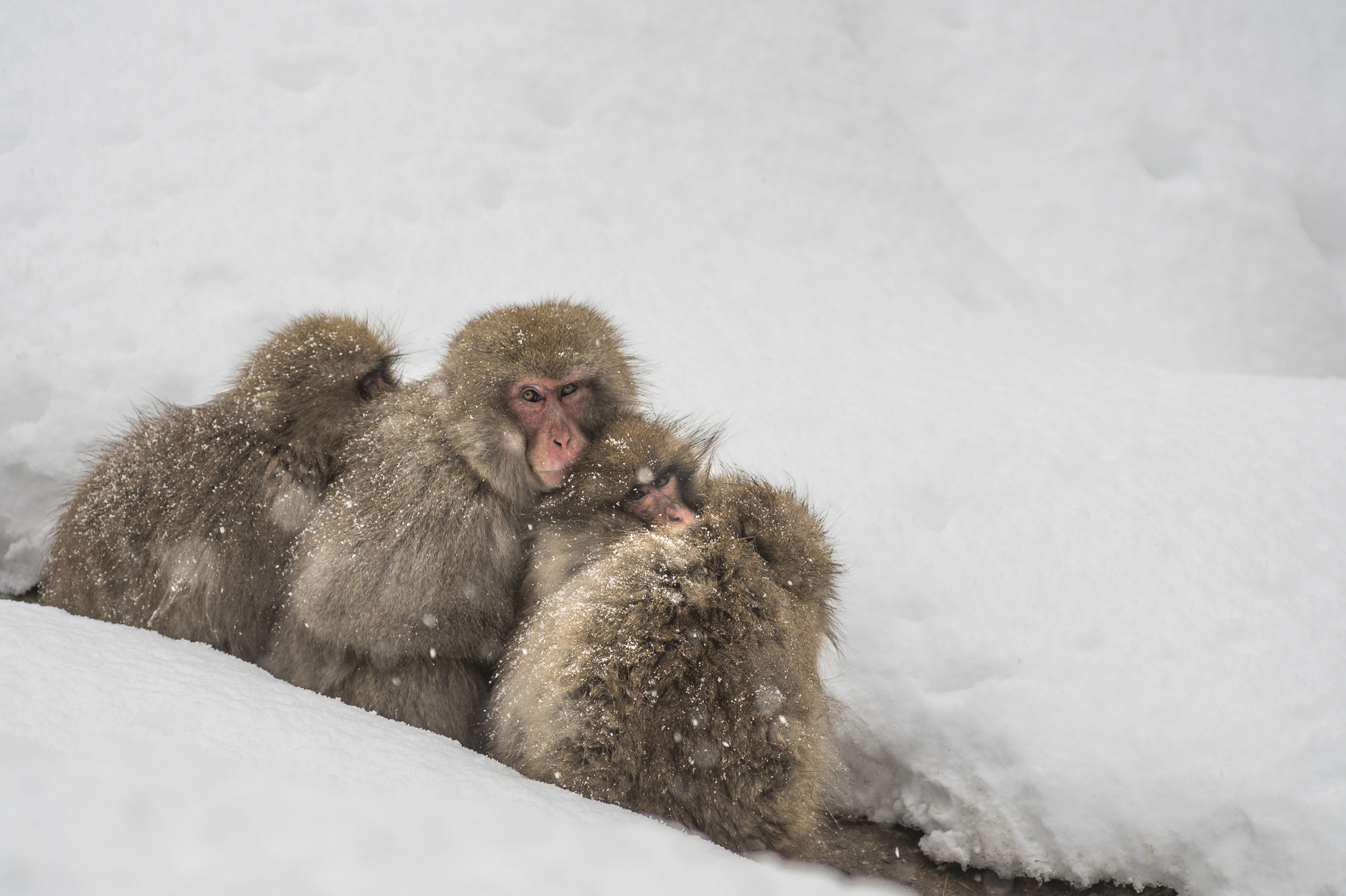 Snow Monkeys in the hills of Jigokunda