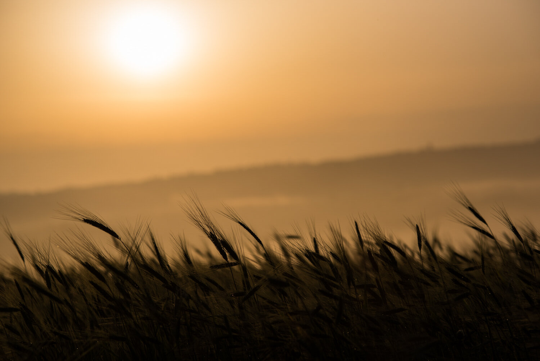 Grain fields at sunrise  PHOTOGRAPHY: MIRKO FIN • Nikon D750 • AF-S Micro NIKKOR 105 mm Ƒ/2.8 ED IF VR @ Ƒ/5.6 • 1/4000 sec • ISO 100