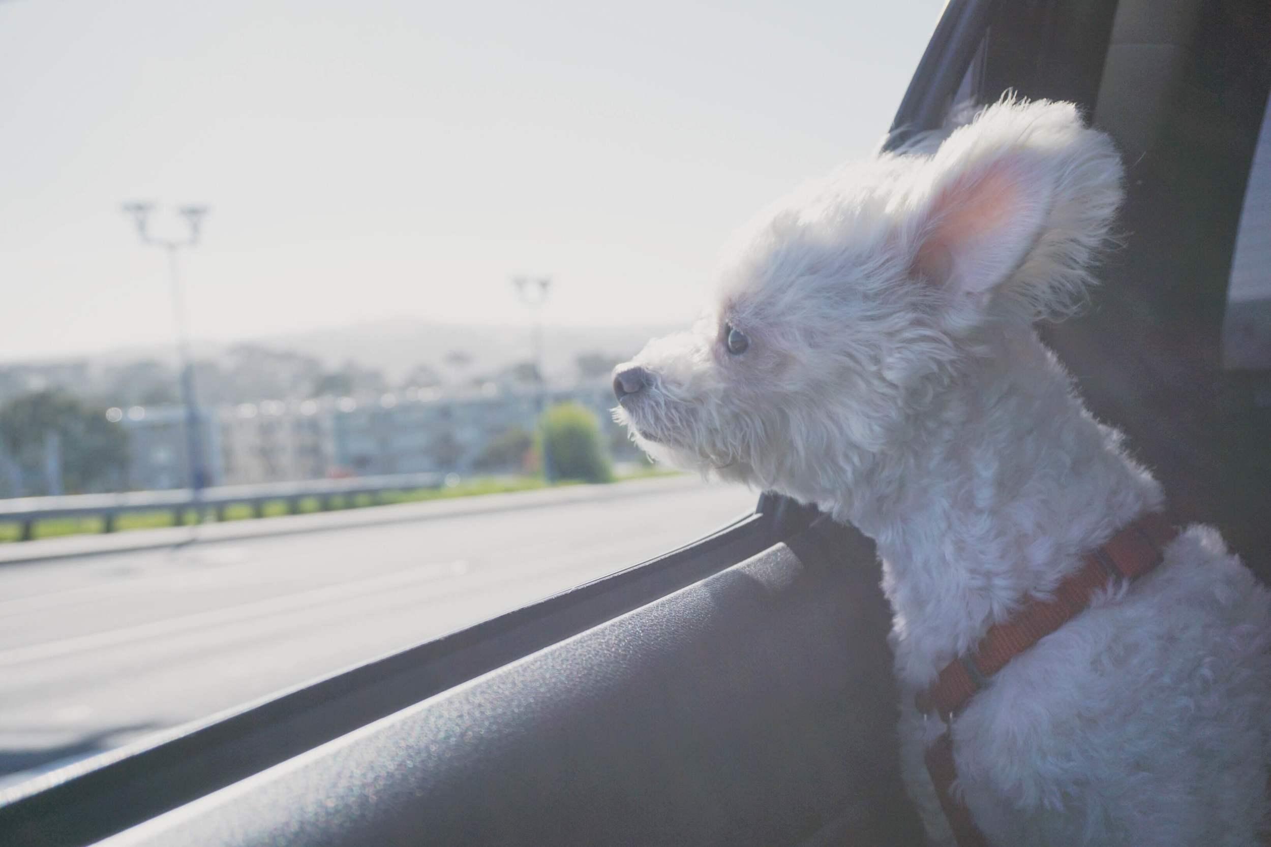 Yoshi loving the car ride to Chico.