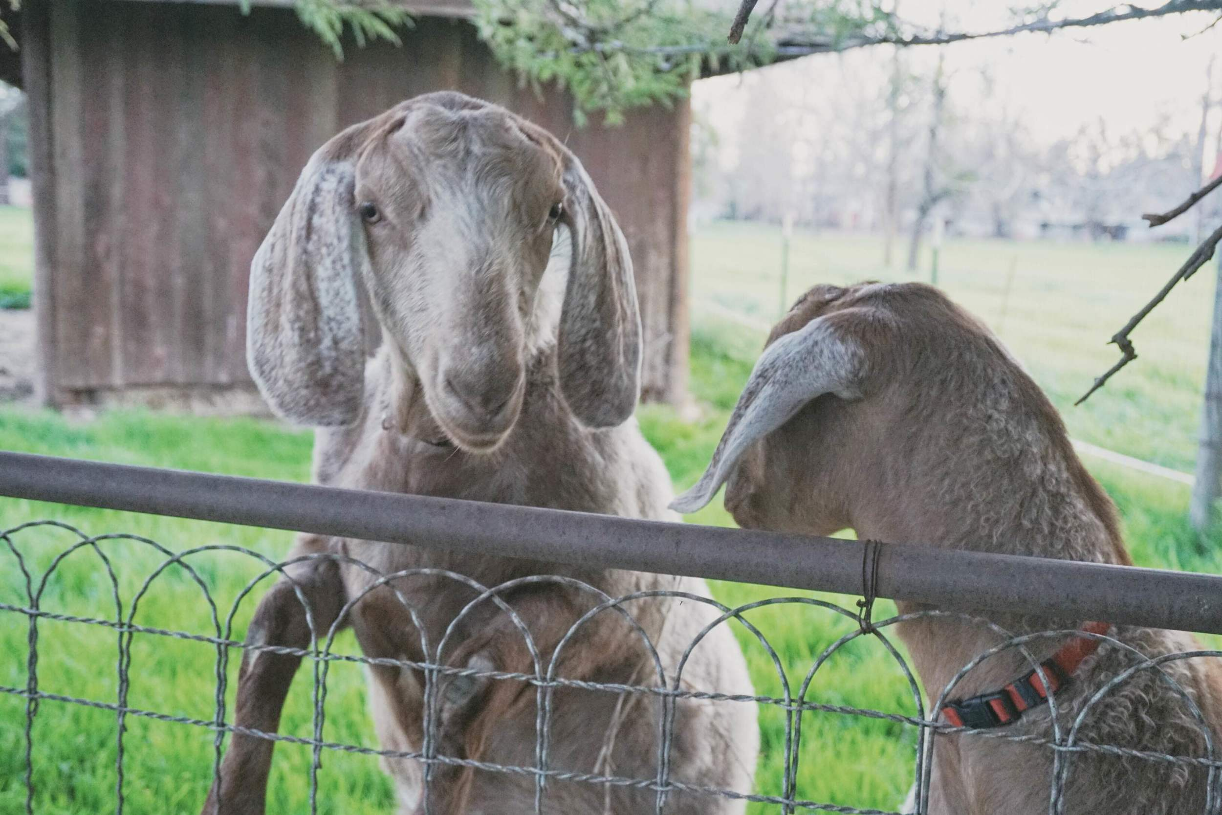 Two of the goats on Robyn and Larry's property.