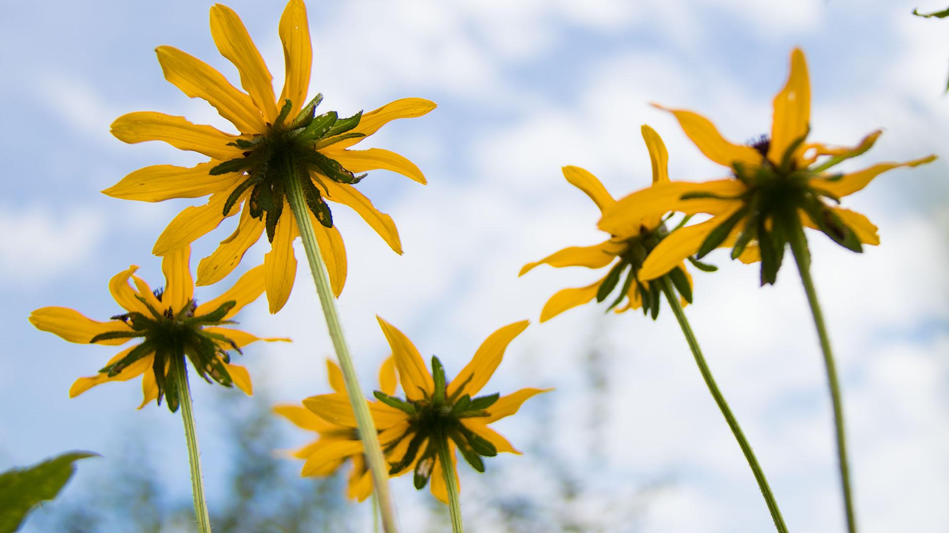 0058 yellow flower blue sky feature.jpg