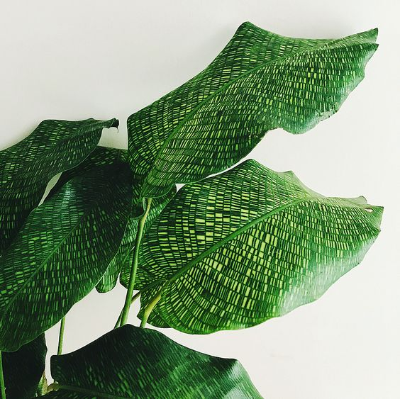 - calathea musaicathose tiny little leaf patterns are sooo pretty. I love a plant with large leaves.