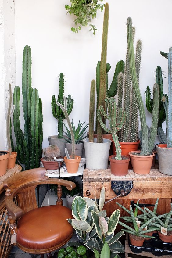 - CactiThis isn't a specific specimen but I want a lot of tall cacti of all different shapes and sizes. I mean how amazing would it be to have these tall lovely structures in every corner.