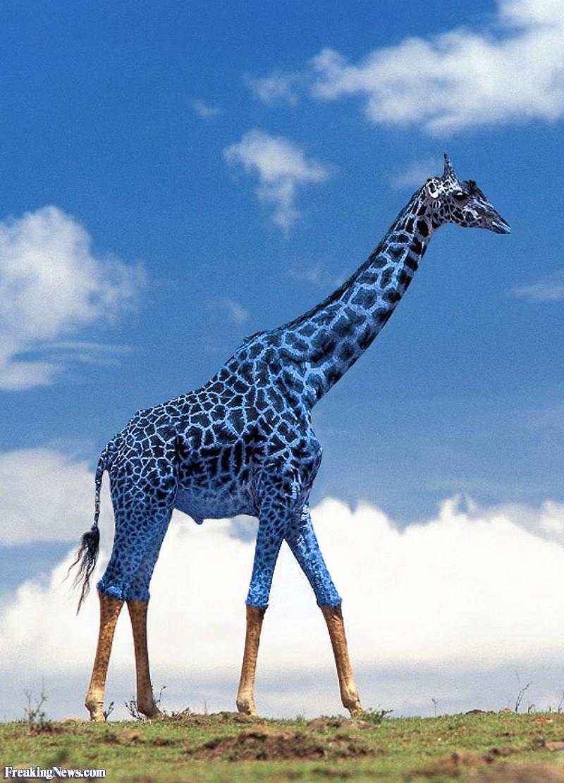 Blue-Giraffe--92981.jpg