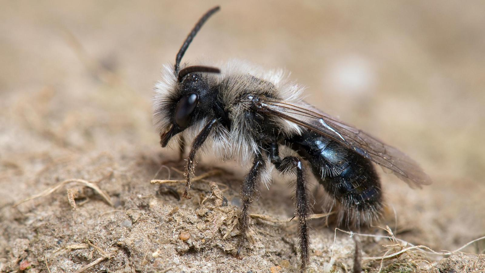 Ashy mining bees (Andrena cineraria) are common all over Europe (Credit: Andy Sands/NPL)
